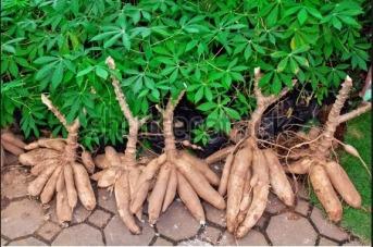 cassava-shrubs